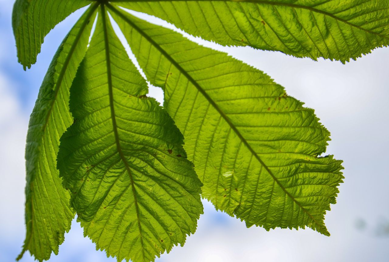 Blanket Me in You Leaf Green Color Leaf Vein Close-up Plant Nature Growth No People Freshness Beauty In Nature Day Outdoors Fragility Chestnut Chestnut Leave Perspectives On Nature