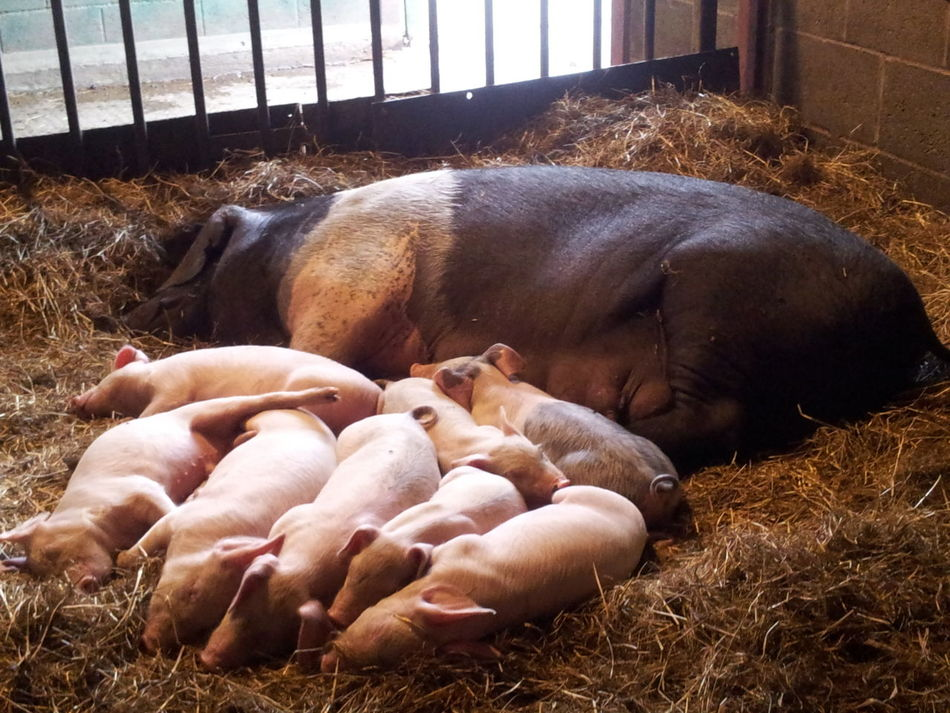 Hard Day Babies Pig And Piglets Piglets