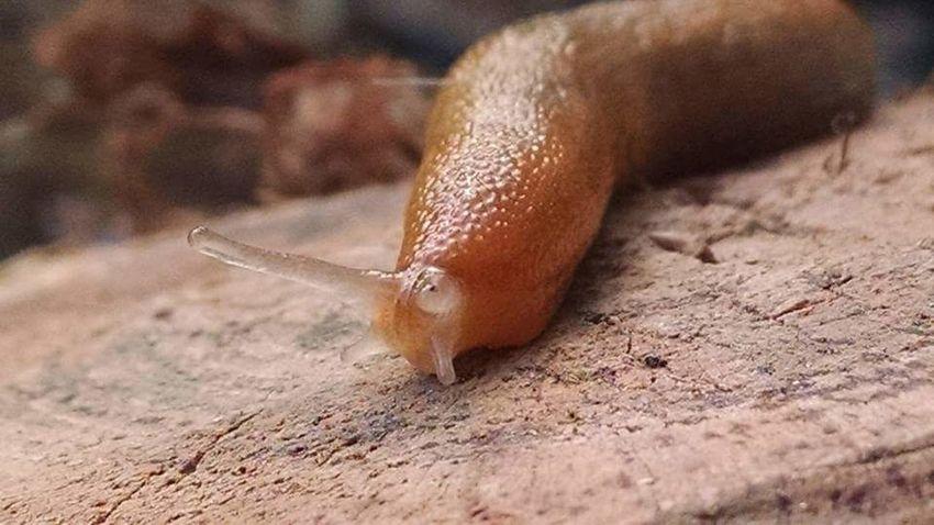 Garden slug close up. Amazing. One Animal Animal Wildlife Animal Brown Animals In The Wild Animal Themes Close-up Nature No People Outdoors Red Slug Day