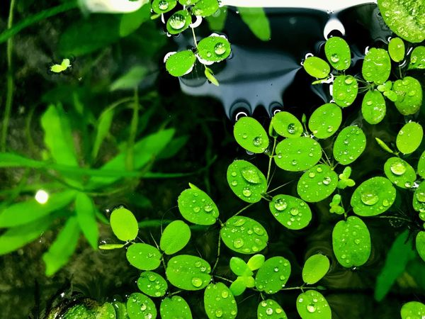 Leaf Water Green Color Nature Growth Plant Drop Close-up No People Outdoors Beauty In Nature High Angle View Day Wet Freshness Floating On Water Fragility Lily Pad