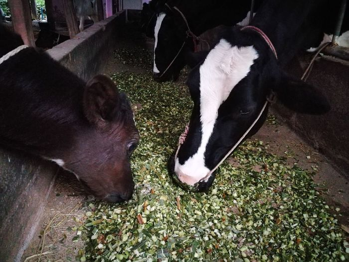 Dairy Farm Dairy Cow  Eating My Cow Small And Big