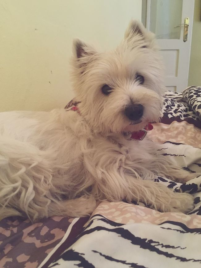 we are back baby !! Westie Dog Pets Dog Love My Dog Is Cooler Than Your Kid. DogLove Dogs My Dog Beautiful Truefriends Hello World MyGIRL Chill In Bed Queen Dogs Of EyeEm Dogslife Perfect