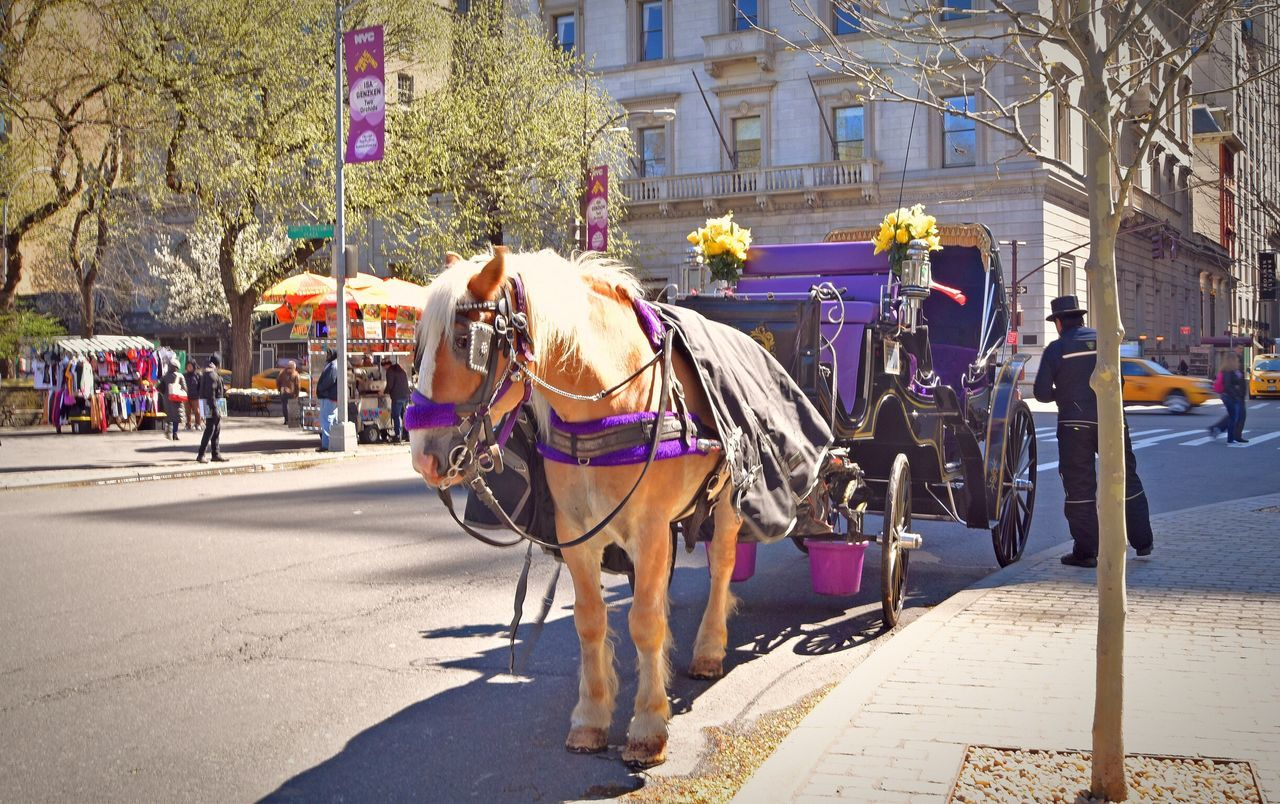 Horse and carriage Sunshine NYC New York NYC Photography Showcase April Central Park Up Close Street Photography New York City Streetphotography Street Photography Purple Horse Horses Working Horse Horse And Carriage Horse And Cart CentralPark