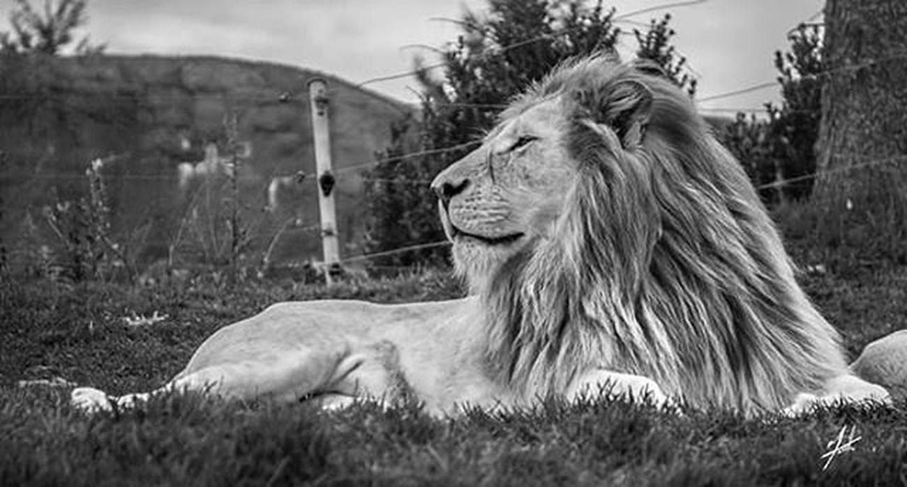 Toronto Kingofthejungle Canada Torontophotos Torontophotography Thetorontozoo Metrotorontozoo TorontoZoo Torontophoto Cat Zoo Animal Beauty Photography Photo Photooftheday Follow Instagood Instagram Instagramhub Insta Instagood Outdoor Beast Roar beautiful lion mufasa scar
