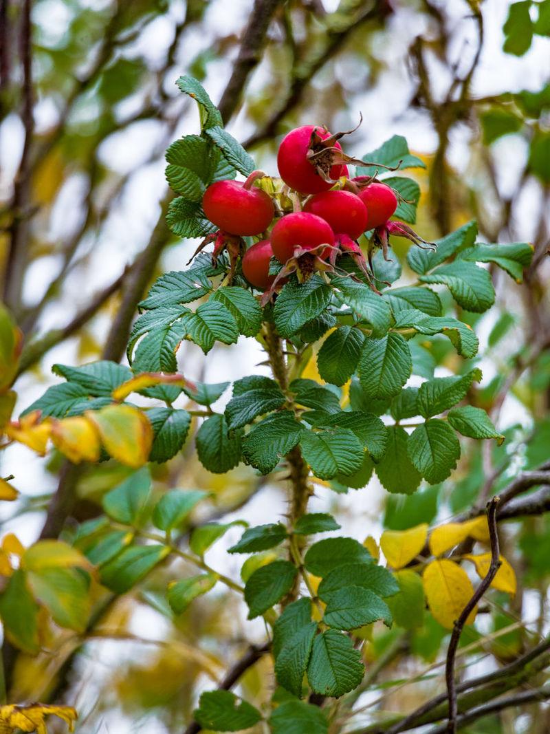 Autumn Dog Rose Focus On Foreground Fruit Red Ripe Rose Hip Wild Brier