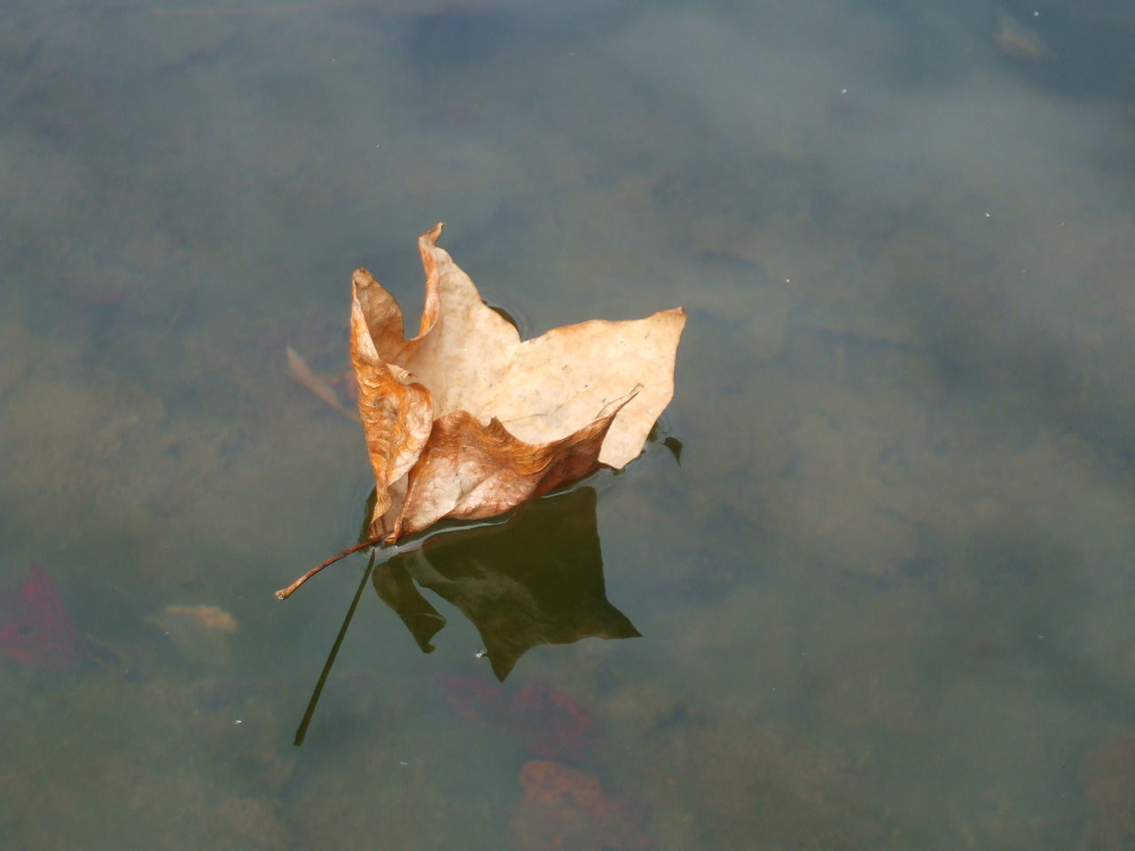 Autumn Beauty In Nature Change Close-up Day Dry Fragility Lake Leaf Maple Maple Leaf Nature No People Outdoors Reflection Water Wet