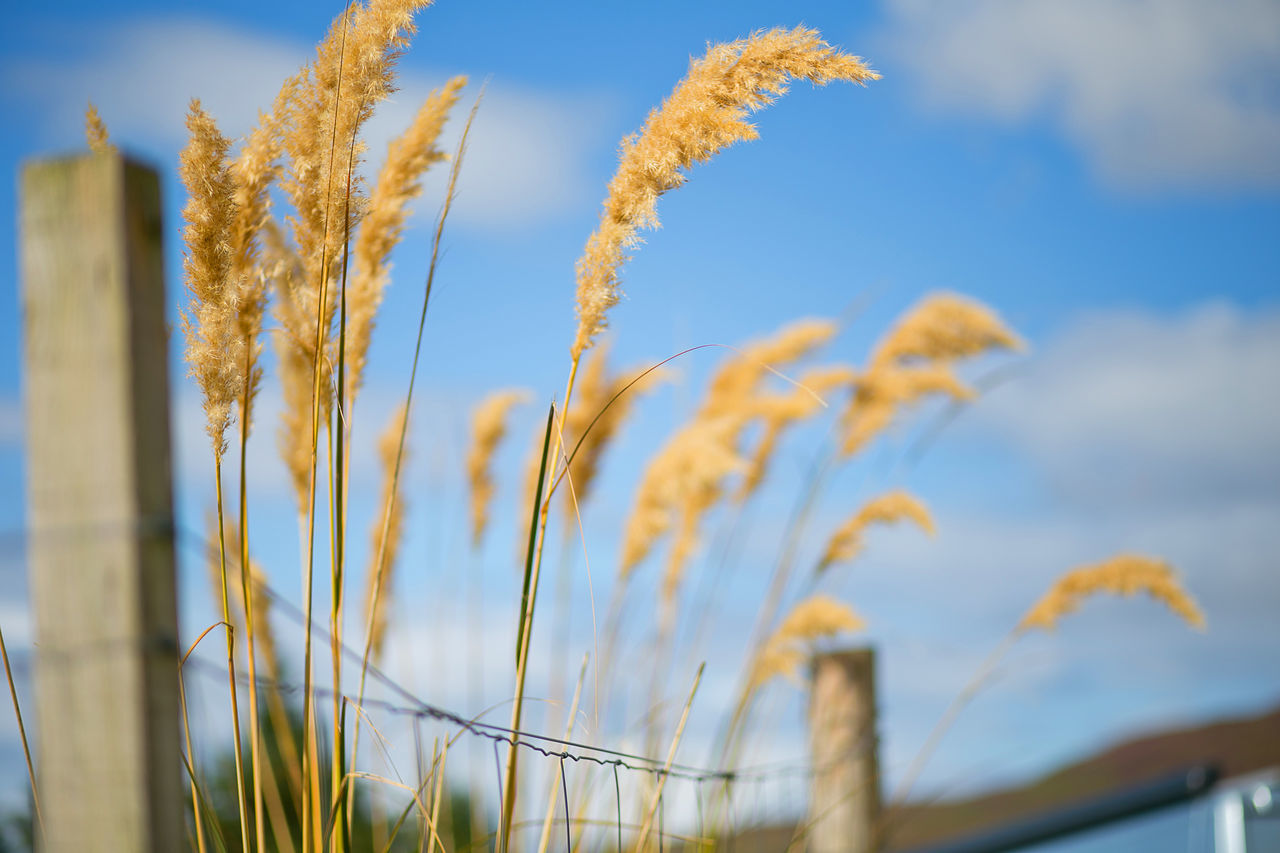 Agriculture Cereal Plant Close-up Crop  Day Farm Field Growth Nature No People Outdoors Plant Rural Scene Sky Wheat Wholegrain