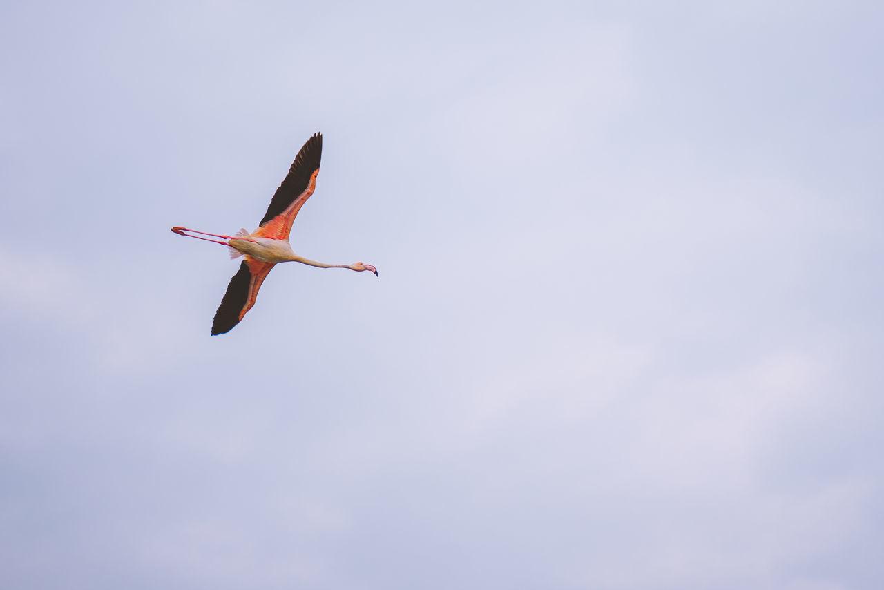 Bird Day Dubai Flamingo Flying Mid-air No People One Animal Outdoors Pelican Sky Spread Wings UAE United Arab Emirates
