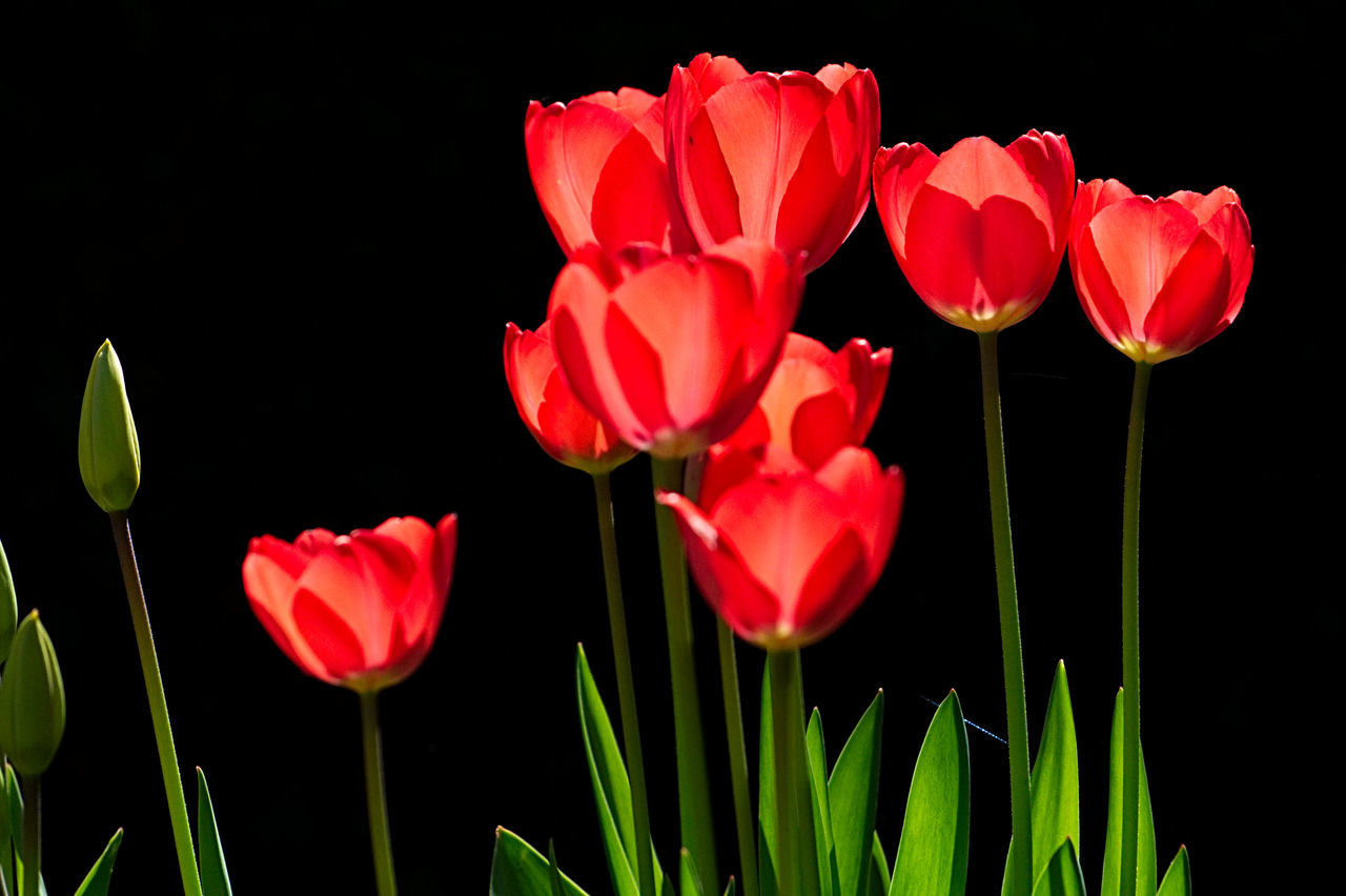 Beauty In Nature Black Background Blooming Close-up Day Flower Flower Head Fragility Freshness Growth Nature No People Outdoors Plant Poppy Red Spring Flowers Springtime Tulip