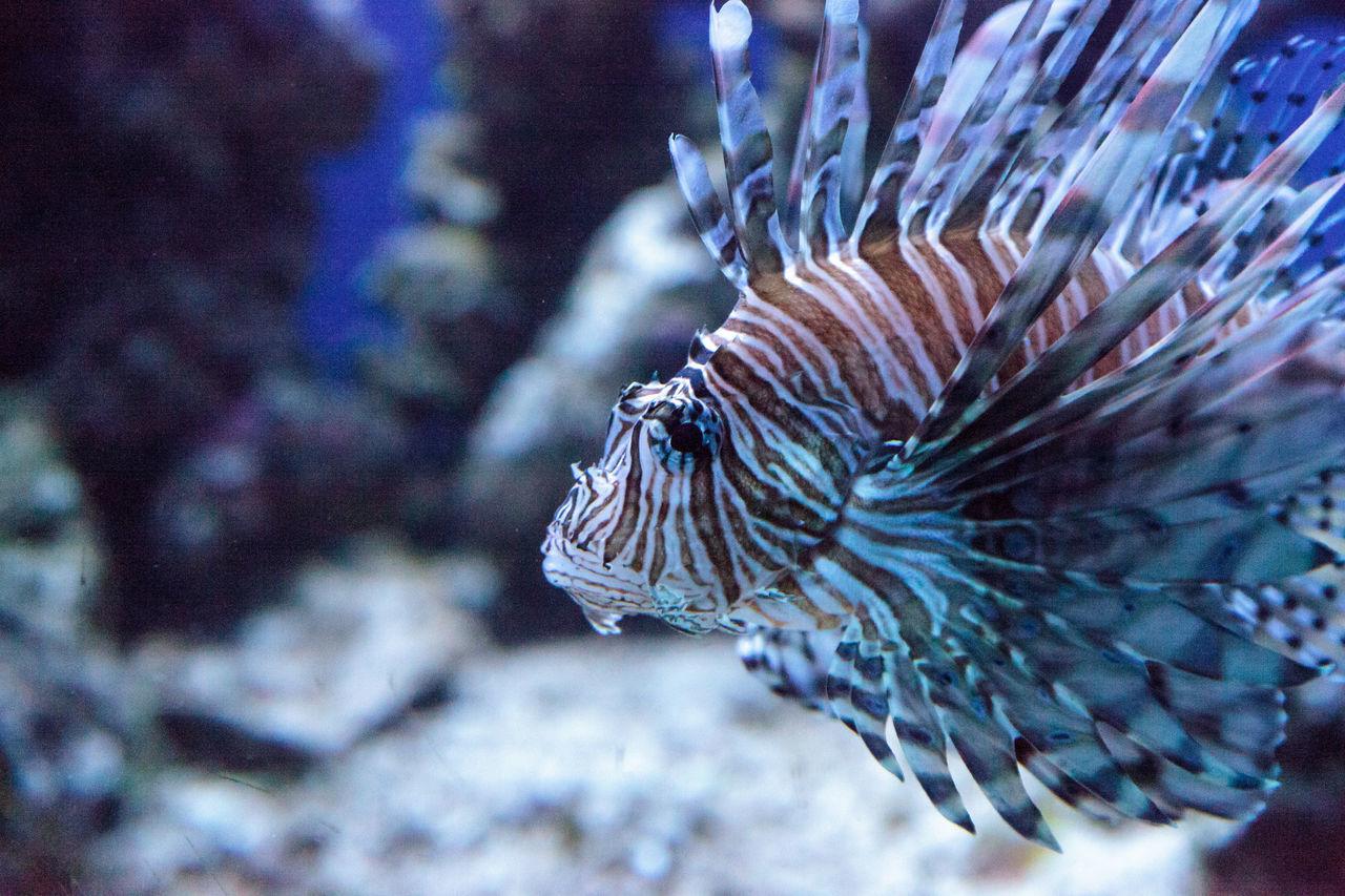 Lionfish Pterois volitans swims on a coral reef. Beauty In Nature Close-up Coral Reef Fish Invasive Invasive Species Lionfish Nature No People Ocean Poison Predator Pterois Volitans Sea Swim Venom