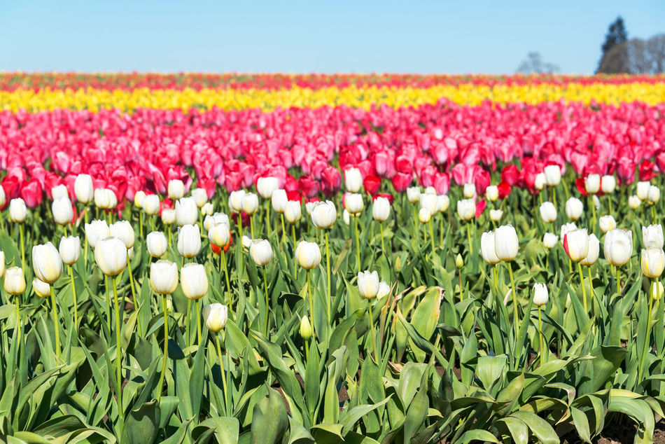 Colorful tulip field in Woodburn, Oregon Beauty In Nature Colorful Day Field Flower Flowers Freshness Green Nature No People Oregon Outdoors Pacific Northwest  Pink Purple Red Row Rows Rural Scene Tulip Tulips United States USA Woodburn Yellow