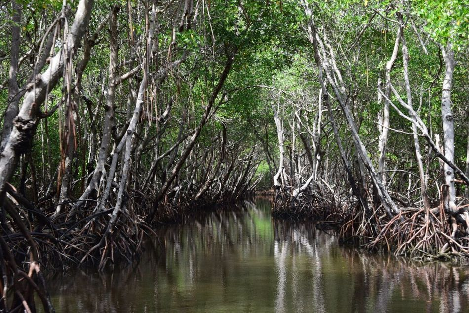 Mangrove Forest Florida Everglades  Airboat