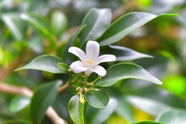 Flower Flower White Thailand