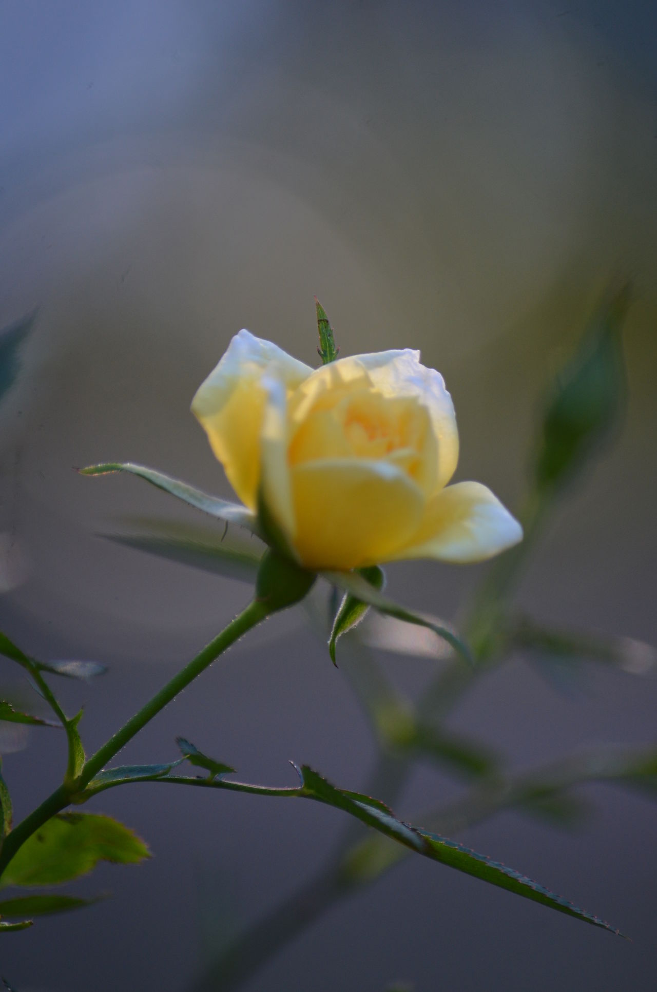 Beauty In Nature Close-up Day Flower Flower Head Fragility Freshness Growth Nature No People Outdoors Plant Rose - Flower Roses Rose🌹 Rosé Yellow Yellow Flower Yellow Rose