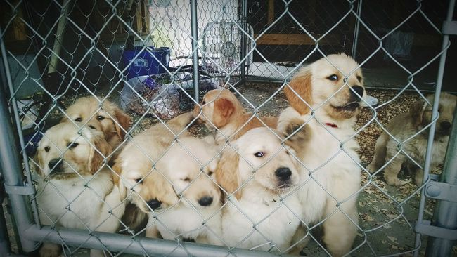 Please let us out of here! Puppies Golden Retrievers Love Puppy Love