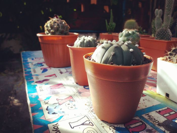 Table No People Day Freshness Close-up Coryphantha Beauty Sunlight Beauty In Nature Cactus Nature Summer Cactus Cactus Collection Lifestyles 3XSPUnity EyeEm 3XSPUnity Nature Outdoors Astrophytum Asterias Astrophytum Green Color EyeEmNewHere