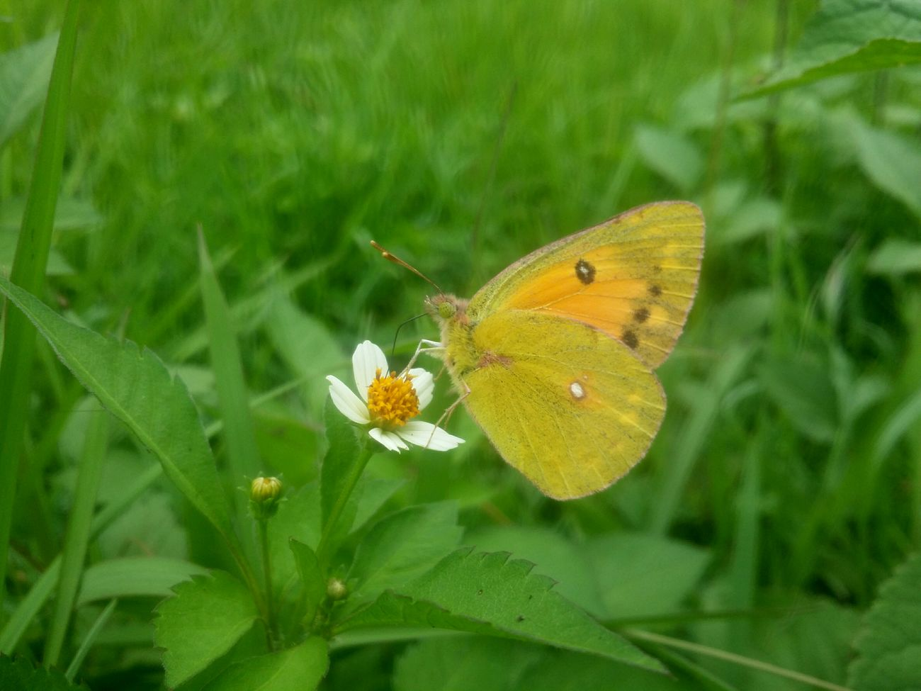 Yellow butterfly vai mobile photography