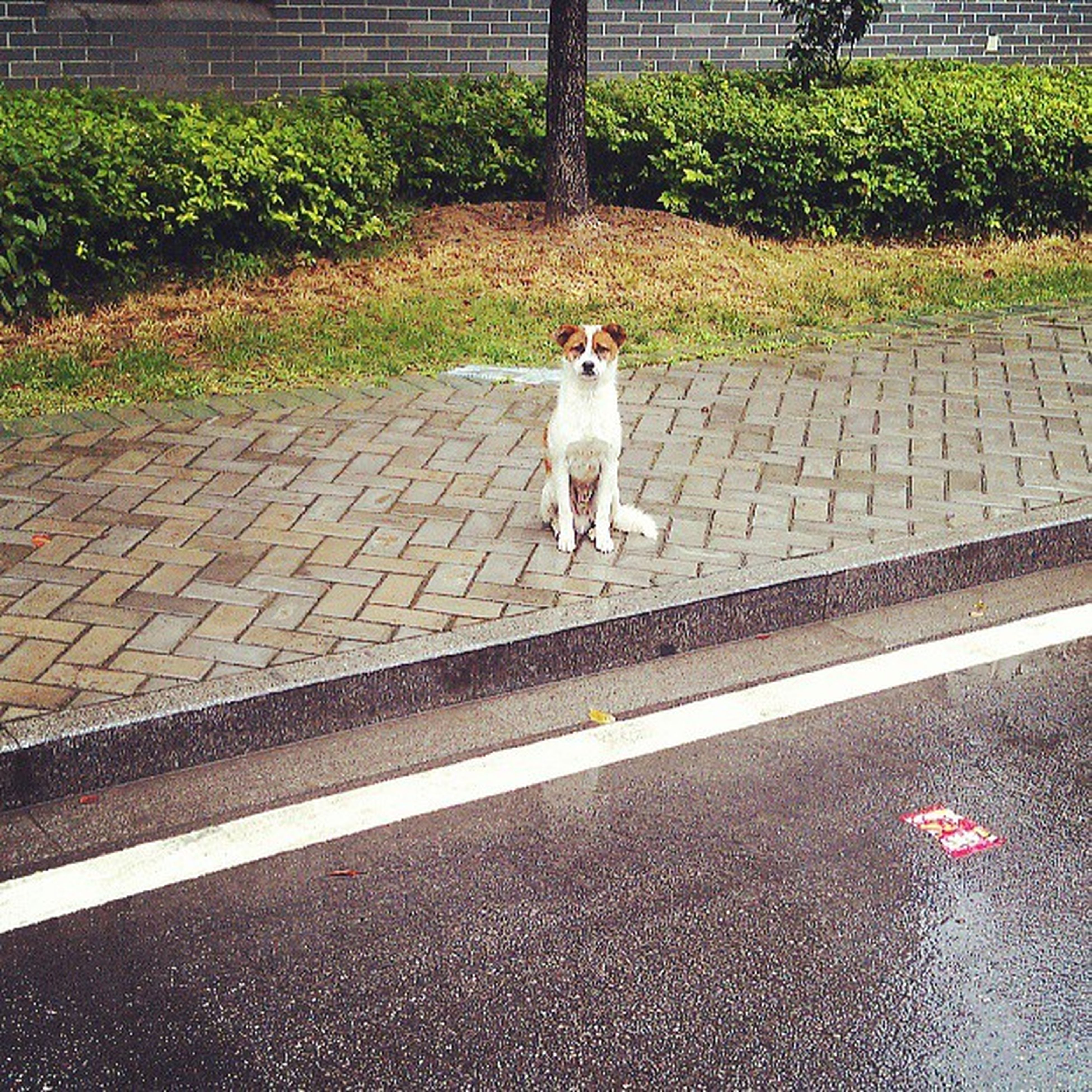 domestic animals, pets, dog, one animal, animal themes, mammal, full length, white color, grass, road, street, walking, high angle view, pet leash, outdoors, standing, day, no people, portrait, road marking