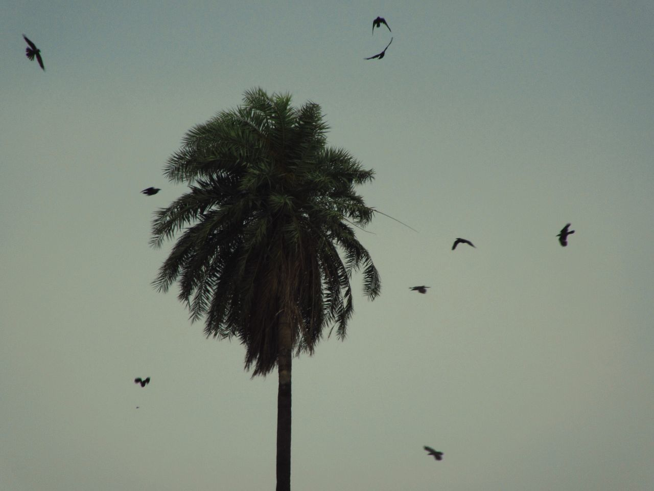 flying, bird, mid-air, animals in the wild, animal themes, low angle view, animal wildlife, nature, tree, spread wings, outdoors, clear sky, sky, beauty in nature, large group of animals, palm tree, flock of birds, bat - animal, day, paragliding, parachute, no people