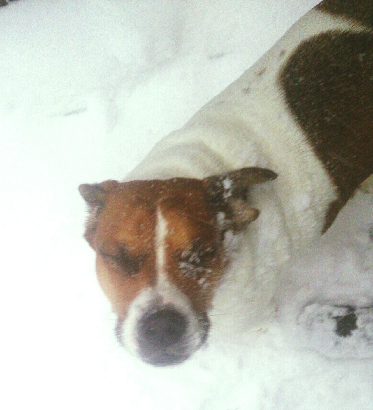 Sammy♡ Beabulls Sammythebeabull Baby ❤ Nature_collection When Boredom Strikes. Snow❄⛄ Snowy Snow Snowing Snow ❄ Winter LongIslandNY