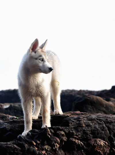 Animal One Animal Animal Themes Outdoors No People Domestic Animals Nature Day Siberian Syberian Husky Husky Dog Puppy Cliffs Mammal Animal Wildlife Full Length Animals In The Wild Pets Close-up Sea Shore