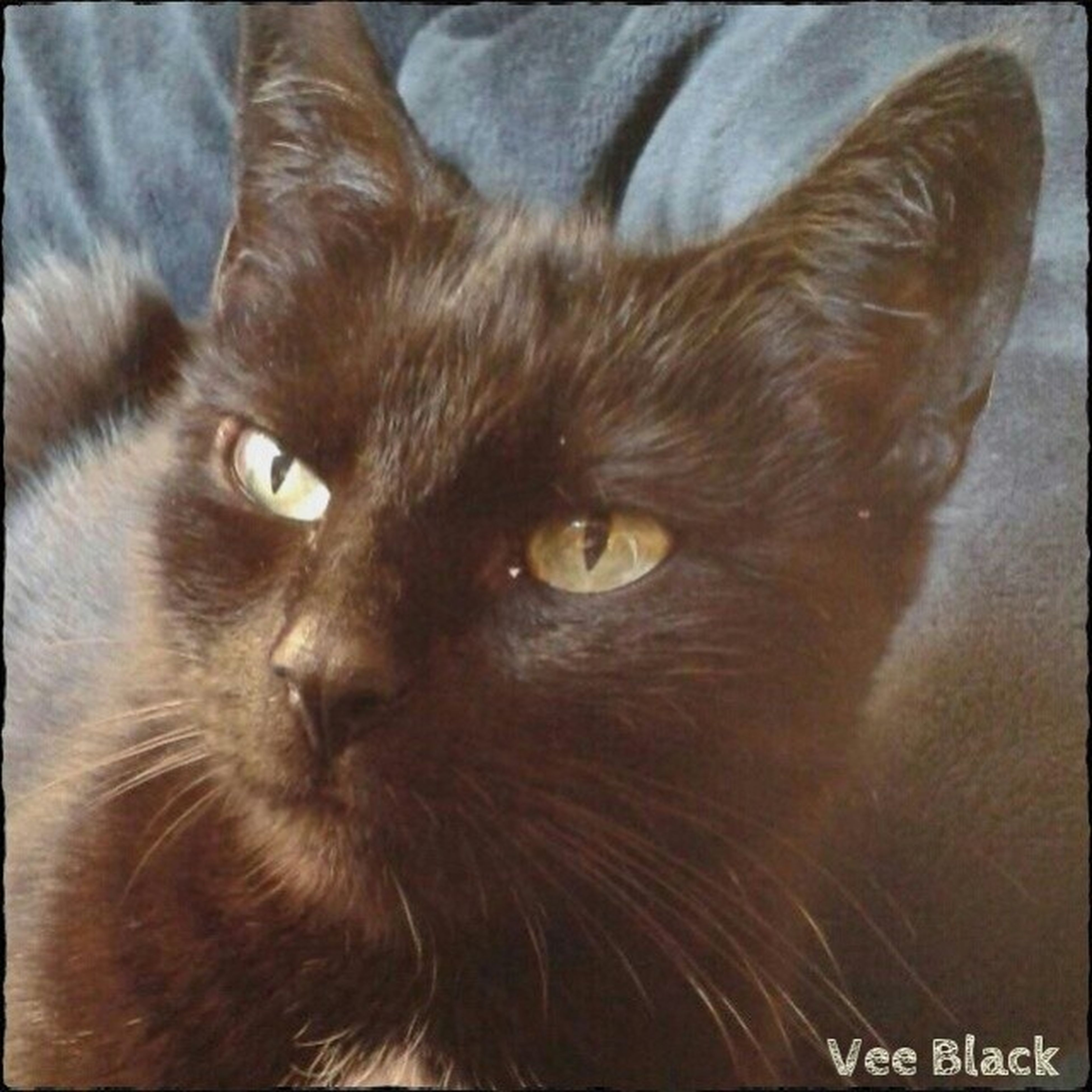 pets, domestic animals, domestic cat, animal themes, one animal, cat, mammal, indoors, feline, whisker, looking at camera, close-up, portrait, animal head, animal eye, staring, alertness, black color, animal body part, no people