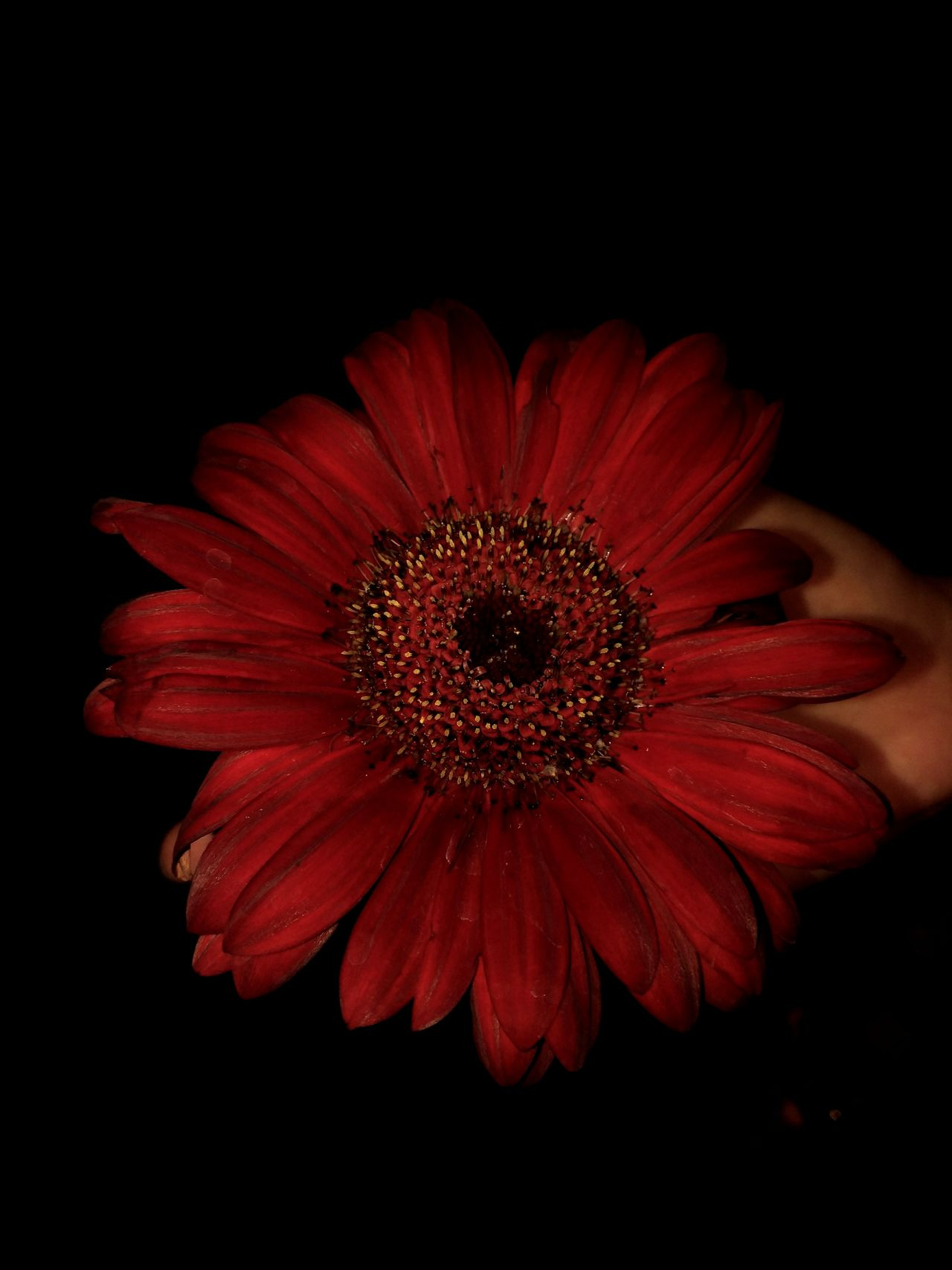 Flower Petal Flower Head Fragility Black Background Red Beauty In Nature Plant Close-up Freshness Nature Studio Shot Beauty No People Day Outdoors