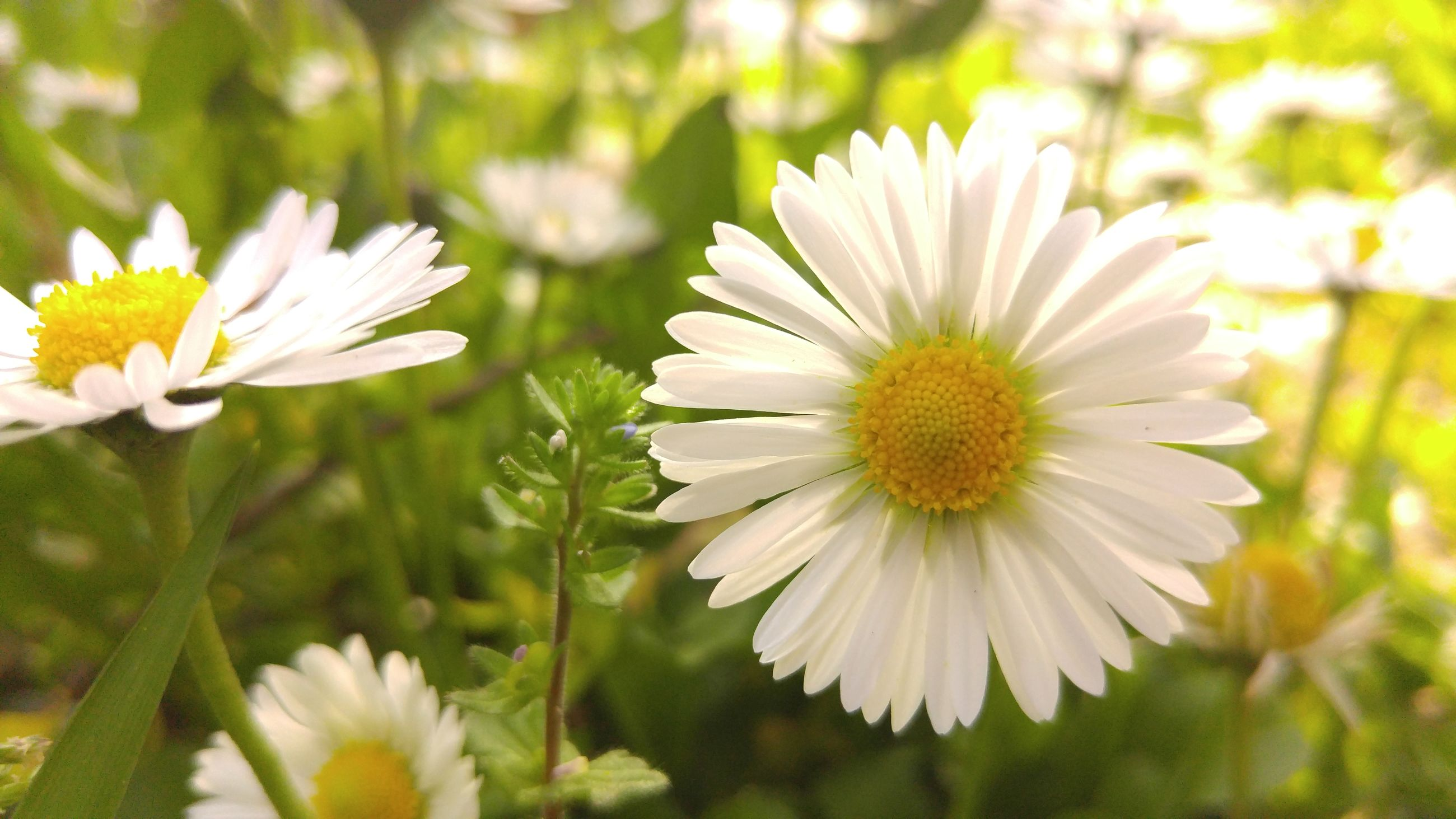 flower, freshness, petal, fragility, flower head, white color, growth, beauty in nature, focus on foreground, blooming, close-up, nature, pollen, plant, daisy, in bloom, day, stem, blossom, outdoors