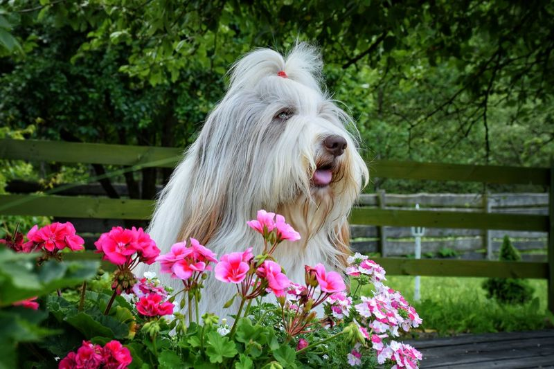 Animal Hair Animal Head  Beardedcollie Beauty In Nature Close-up Day Dog Dog Of Eyeem Dogs Of EyeEm Flower Focus On Foreground Fragility Grass Growth Mammal Nature No People Outdoors Petal Pink Color Plant