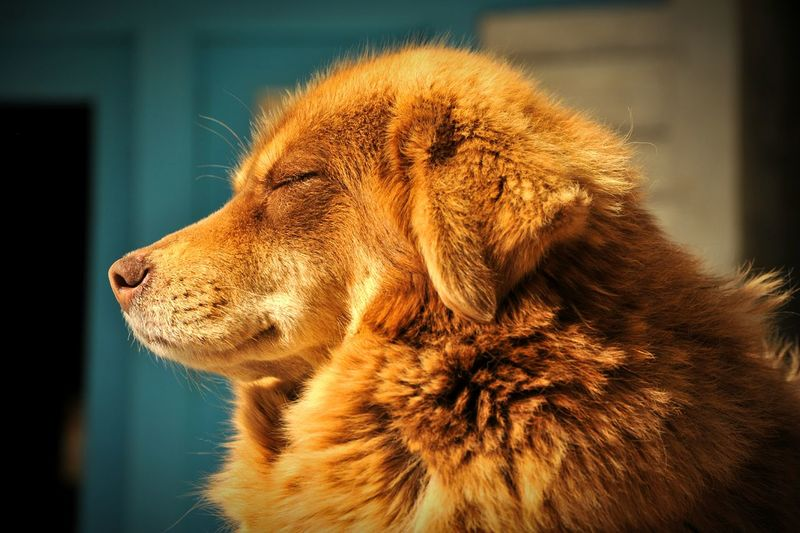 Nepal Dog Relaxing Anmale Mountains Pray For Nepal RePicture Travel Summer Dogs