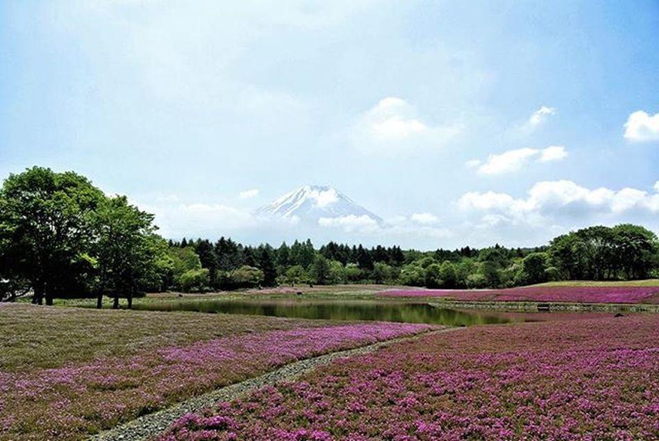 富士芝櫻祭、三年前 Shiba-Sakura Festival, 3 years ago Nikon 1 J2 Hk Utravel Footprints Pbhk 芝桜 富士芝まつり Vscocam Vscohongkong Vscoexpo Vscogood Hk2016 Shoot2kill Picoftheday Photooftheday Instameethk Nature_shooters Japan 写真 日本 富士 東京 Tokyo Sakura Flower shibasakura 関東 throwback 写真撮ってる人と繋がりたい
