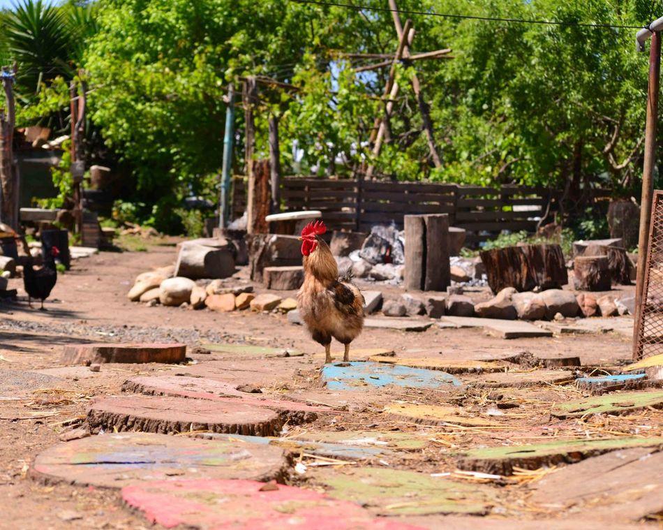 Beautiful stock photos of chicken,  Bird,  Chicken,  Chicken - Bird,  Day
