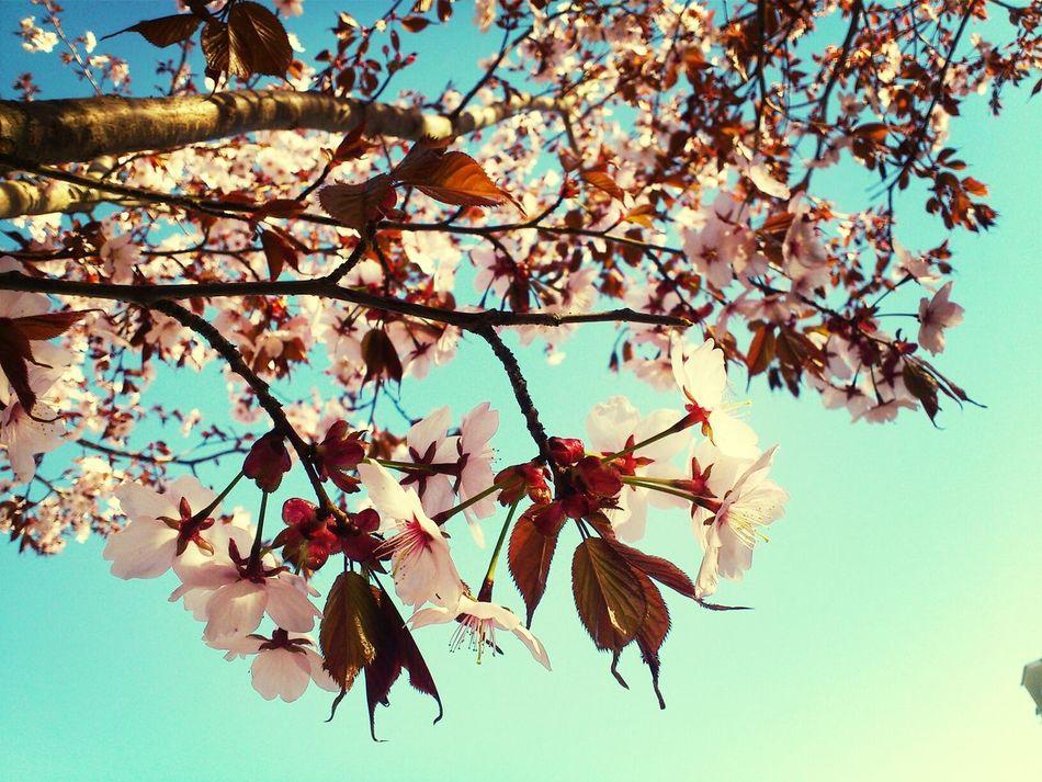 Beautiful stock photos of cherry, Abundance, Beauty In Nature, Blossom, Botany