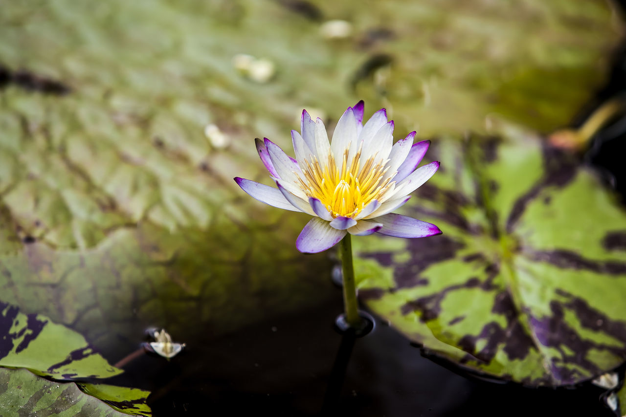 Jogeasa Water Lily Buddist Temple Seoul Korea Flower
