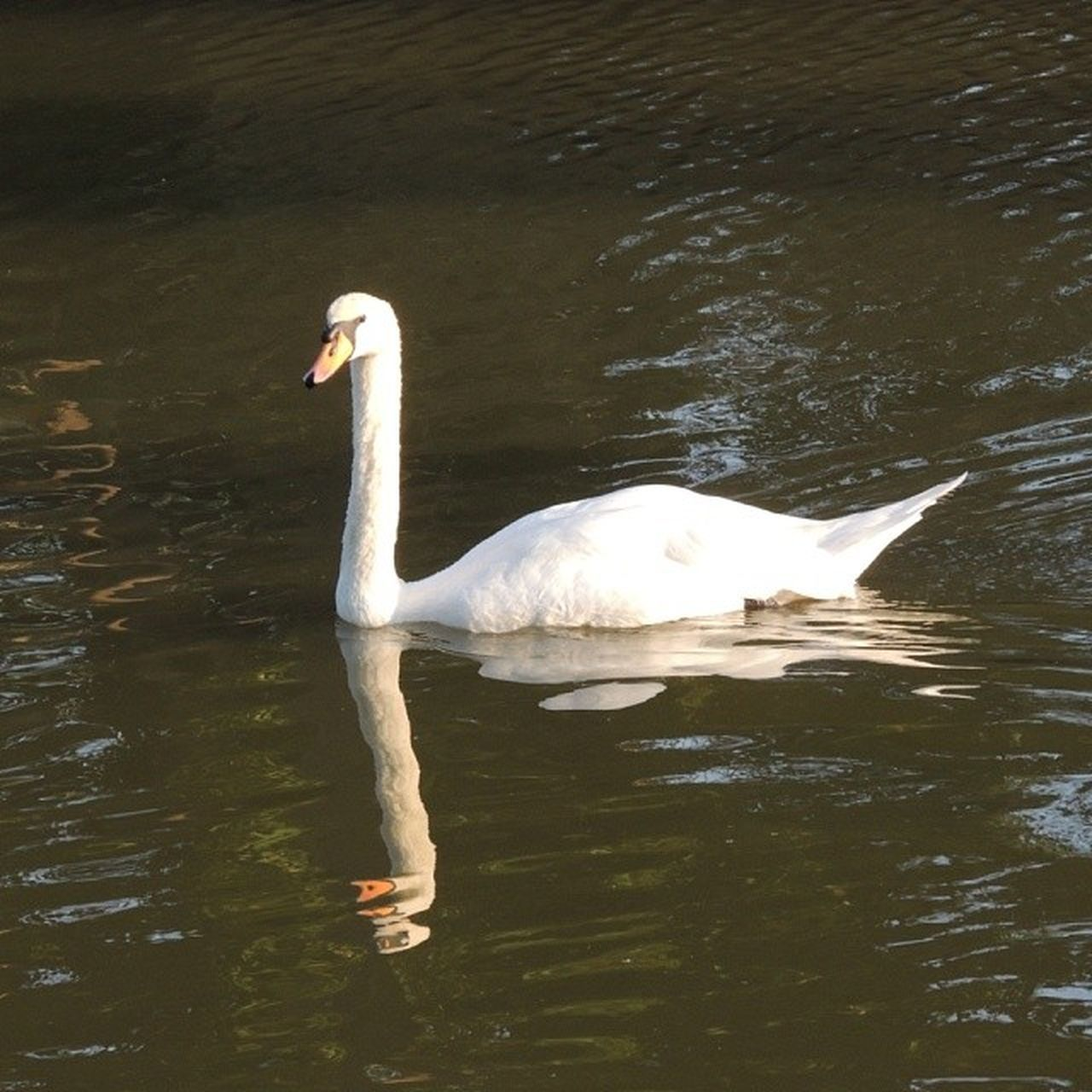 one animal, animal themes, swan, lake, animals in the wild, water, white color, bird, waterfront, animal wildlife, water bird, nature, day, swimming, beak, outdoors, no people