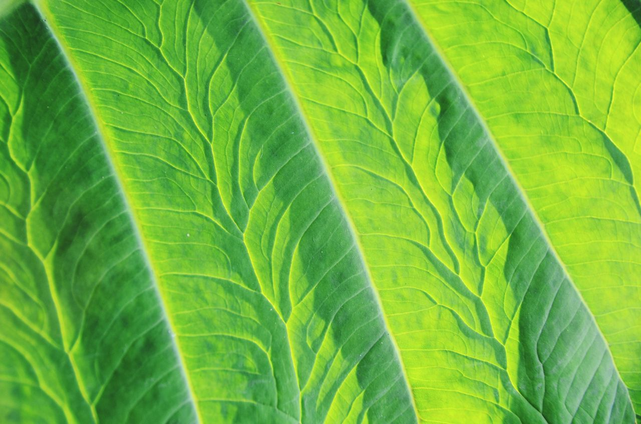 Leaf Vein Green Color Nature Leaf Backlight Plant Leaves Green Color Fineartphotography Pattern Beauty In Nature EyeEm Nature Lover Textured  Art Is Everywhere