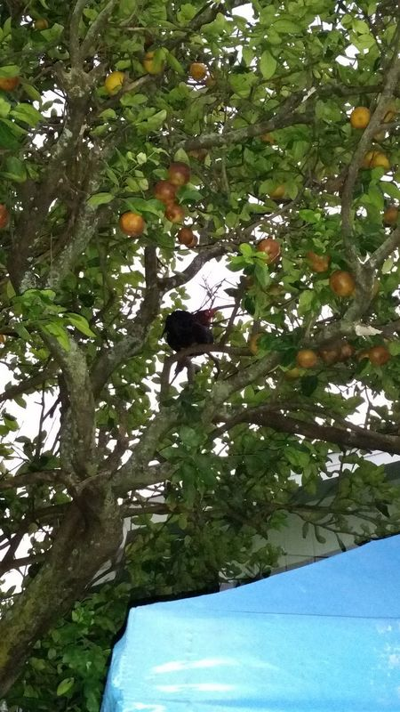 Chicken🐥in a tree 🌳 Hanging Out Taking Photos Check This Out Waimanalo Hi! Backyard