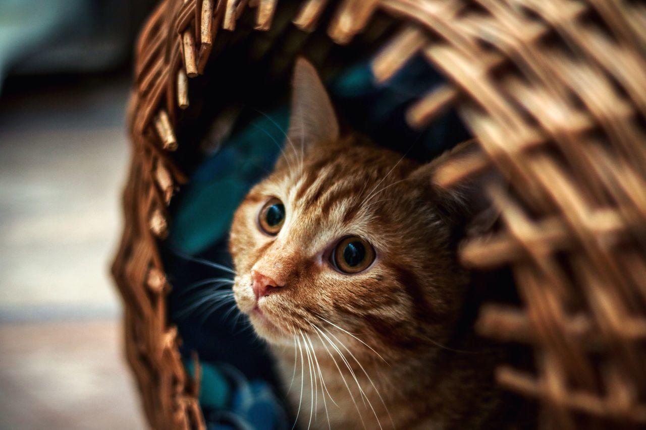 Domestic Cat Pets Domestic Animals Whisker Mammal Feline Portrait Kitten Kitty Purr Meow