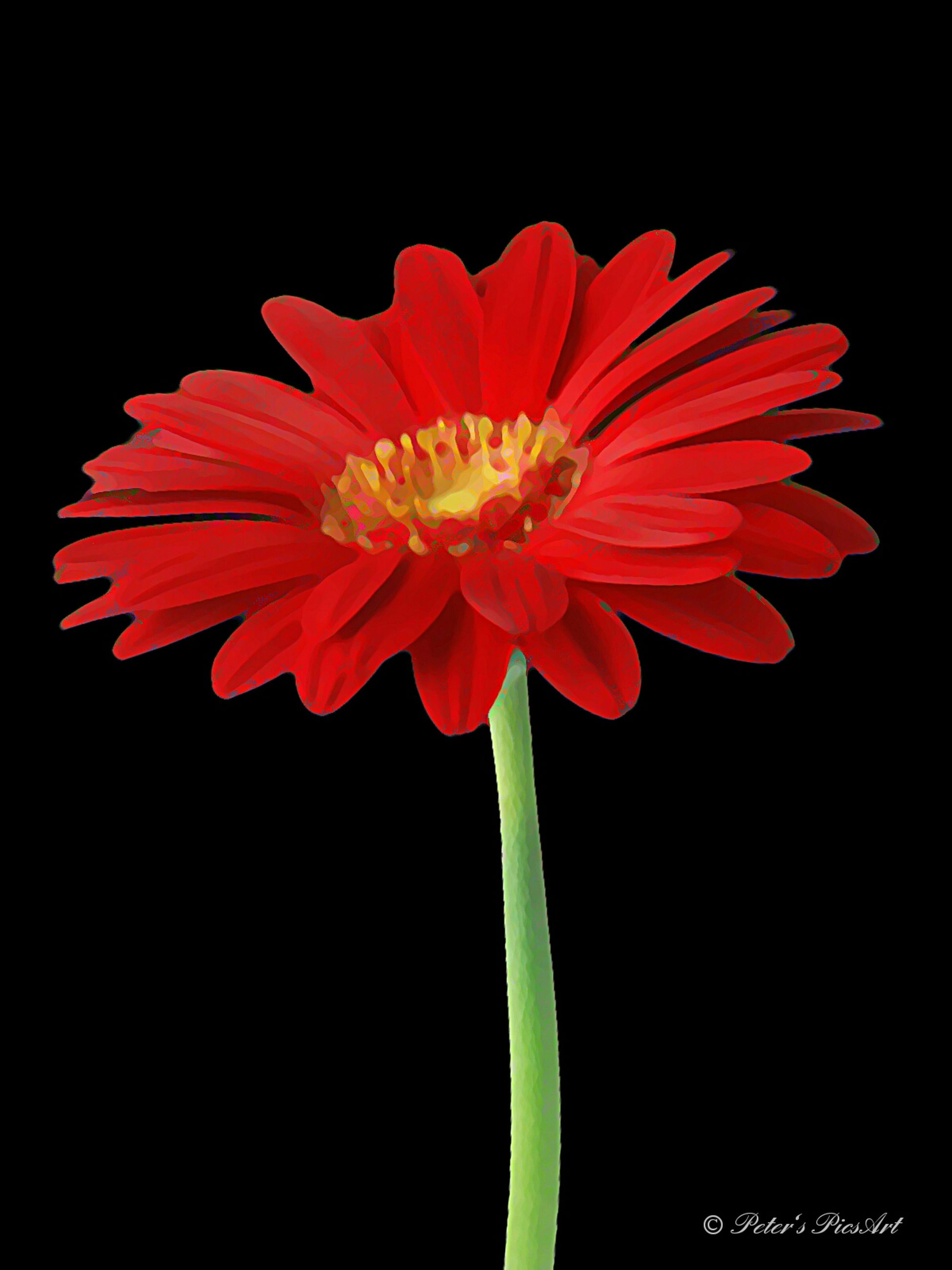 flower, black background, studio shot, freshness, petal, flower head, fragility, red, beauty in nature, growth, close-up, single flower, copy space, nature, stem, plant, cut out, blooming, no people, stamen