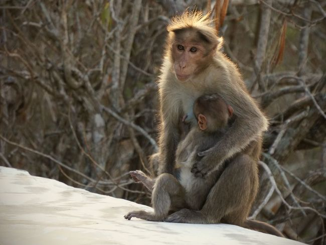 Animal Family Animal Themes Animal Wildlife Animals In The Wild Close-up Day Infant Macaque Macaque Monkey Macaques Mammal Monkey Mother And Child Nature Outdoors Sitting Togetherness Two Animals Young Animal