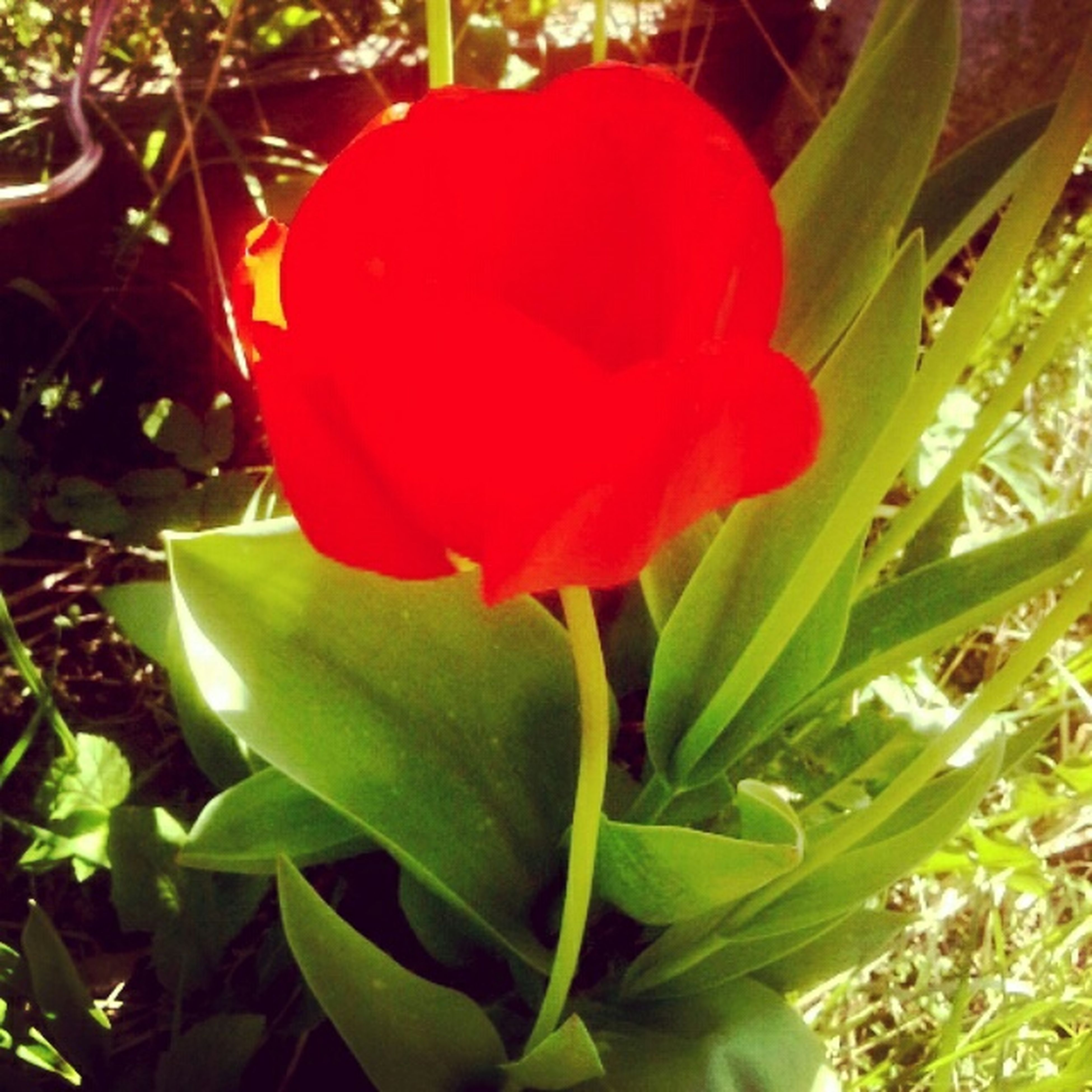 growth, flower, freshness, leaf, red, petal, plant, flower head, beauty in nature, fragility, nature, close-up, green color, blooming, single flower, park - man made space, day, in bloom, no people, outdoors