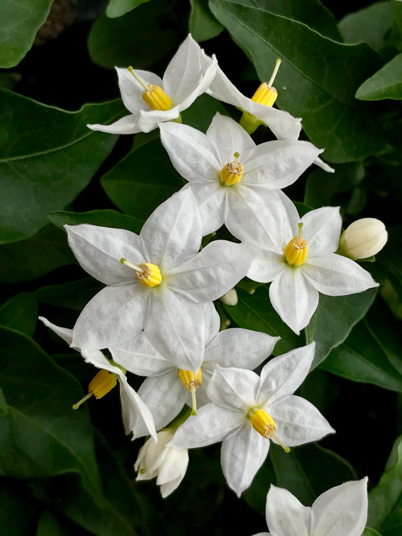 Flower Petal Flower Head Fragility Beauty In Nature Growth White Color Nature Freshness Day Blooming Plant No People Close-up Outdoors Leaf Periwinkle Jasmine Flower Jasmine