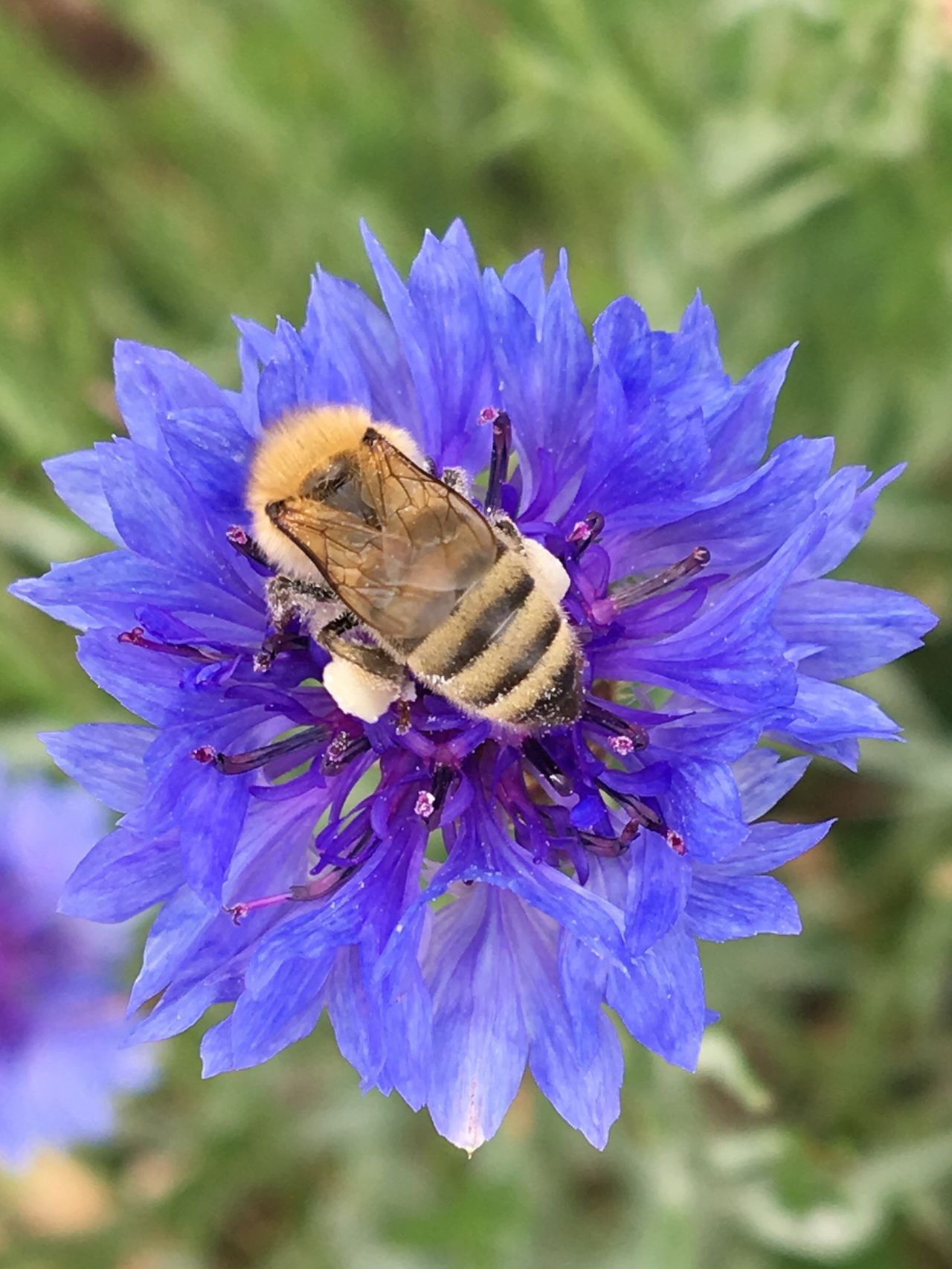 Bumblebee on cornflower Flower Cornflower Blue Blue Flower pollinator Hairy Little Body shiny wings Insect One Animal Nature Animals In The Wild Fragility Animal Themes Close-up Beauty In Nature Growth Focus On Foreground Petal Outdoors Day No People Flower Head Plant Freshness Pollination