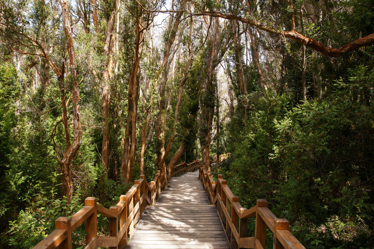 tree, the way forward, wood - material, nature, forest, tranquility, day, outdoors, footbridge, tranquil scene, scenics, beauty in nature, growth, wood paneling, no people