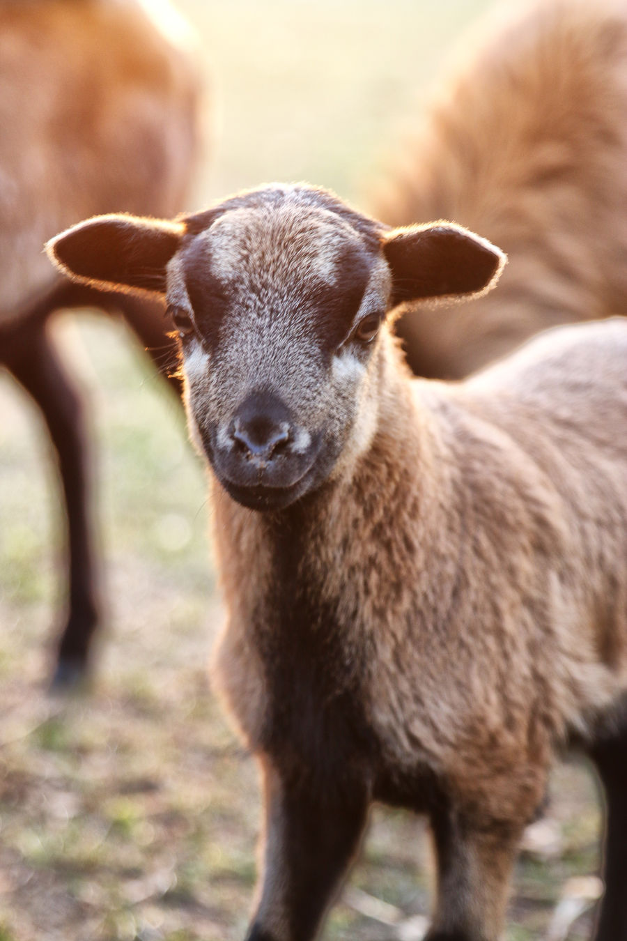 Animal Themes Animals Close-up Domestic Animals Goat Goatling Nature No People One Animal Outdoors