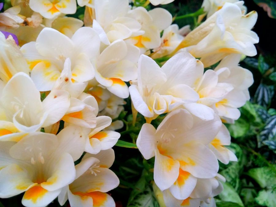 ❧ ....a sound thats not a sound, at all ~ A quiet,soft and dear. ❧ That comforts all the sleepy souls, who sit, and watch, and hear ❧ For You White Noise  Nature Flower Fragility Beauty In Nature Growth Petal Close-up Freshness Flower Head No People Outdoors Horizontal Freesia Freesias Lush - Description Hamilton, New Zealand Women Who Inspire You From My Point Of View Naturelovers Blooming Plant Heaven Scent💕 Beauty In Nature