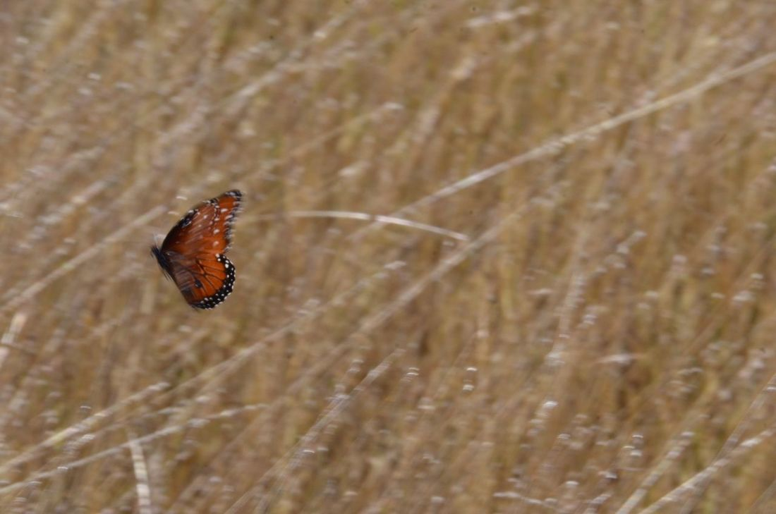 Moving right along. Butterfly - Insect One Animal Animal Themes Animals In The Wild Insect Focus On Foreground Queen Butterfly No People Day Outdoors Nature Animal Wildlife Plant Fragility