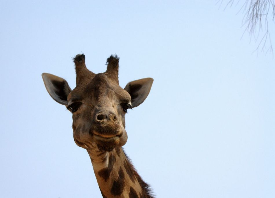 Beautiful stock photos of lustige giraffe, Animal Themes, Animal Wildlife, Animals In The Wild, Brown