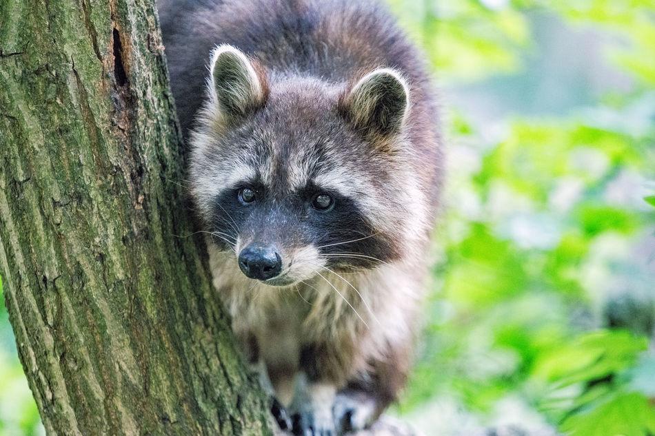 Beautiful stock photos of raccoon, Animal Themes, Animal Wildlife, Animals In The Wild, Close-Up