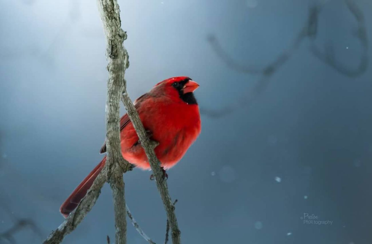 Taking Photos Photography Nature Photography Wildlife Wildlife Photography Bird Photography Birds Of EyeEm  Cardinal Snow ❄ Winter Catnip